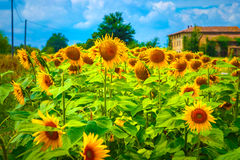 Sunflower field. Great sunflower field near farmer house, many big yellow blooming flowers, agricultural landscape, autumn harvest season, beautiful nature of Royalty Free Stock Photo
