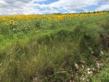 Sunflower field. Green flowers sunflowers sky royalty free stock photo