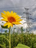 Sunflower on the field with high-voltage poles royalty free stock photos