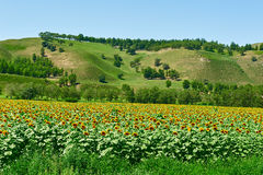 The sunflower field on the hillside Royalty Free Stock Photo