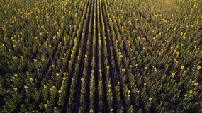 Sunflower field. Huge sunflower field in Russia Royalty Free Stock Photography
