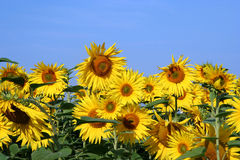 Sunflower field III. Field of flowering sunflowers royalty free stock photography