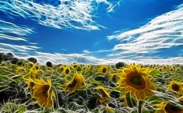 Sunflower Field Illustration Royalty Free Stock Photos
