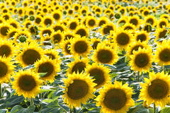Sunflower field. Image of a sunflower field at noon Stock Images