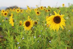 Free Sunflower Field In Baden-Wurttemberg, Germany Stock Photography - 163106772