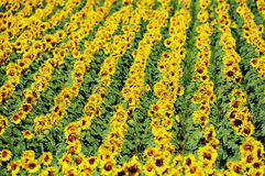 Sunflower field in july Royalty Free Stock Photos