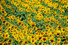 Sunflower field in july Royalty Free Stock Photo