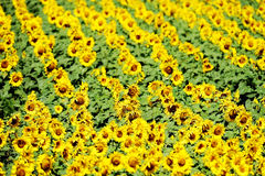 Sunflower field in july Royalty Free Stock Image