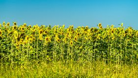 Sunflower field in Kursk Oblast of Russia stock photos
