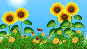 Sunflower field with ladybugs flying. Illustration Stock Photography