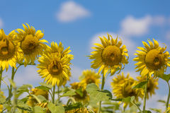 Sunflower field landscape Stock Image