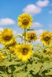 Sunflower field landscape on blue sky Royalty Free Stock Photos