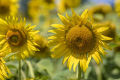 Sunflower field landscape Royalty Free Stock Images