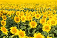Sunflower field landscape. field of blooming sunflowers on a background sunset. Sunflower natural background stock image