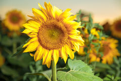 Sunflower field landscape looking to you Stock Images