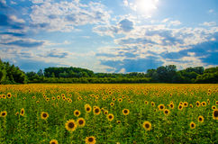 Sunflower field Royalty Free Stock Photography