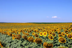 Sunflower field landscape Royalty Free Stock Photography