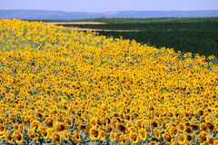 Sunflower field landscape summer season Royalty Free Stock Photography