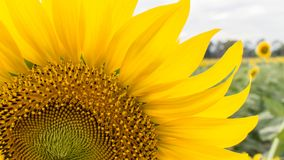 Sunflower field landscape royalty free stock photo
