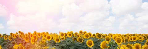 Sunflower in the field Royalty Free Stock Images