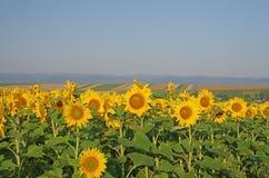 Sunflower field landscape Royalty Free Stock Photo
