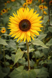 sunflower in a field Royalty Free Stock Image
