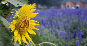 Sunflower in the field of lavender Stock Photo