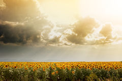 Sunflower field lit by the sun. Rays penetrate through rain clouds Stock Image