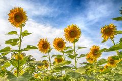 Sunflower in the field. At Lopburi,Thailand Royalty Free Stock Photography