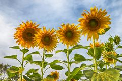 Sunflower in the field at Lopburi Stock Images