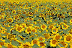 Sunflower field. With a lot of flower Stock Photography