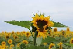 Sunflower on a field Stock Photos