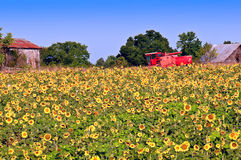 Sunflower field and machinery Royalty Free Stock Images