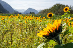 Sunflower in the field. Macro of individual sunflower in a field of sunflowers with hills in the background Stock Photos