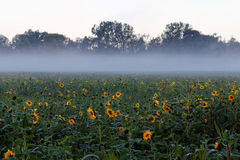 Sunflower field by misty background. A sunflower field at bloom with mist ascending at the forest edge in the background. German countryside at fall Royalty Free Stock Image