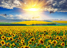 Sunflower field at the morning. Sunflower field against the dramatic sky and a rising sun Royalty Free Stock Photo