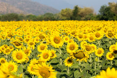 Sunflower field. In morning light Royalty Free Stock Image