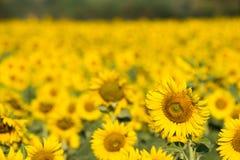 Sunflower field. In morning light Stock Photo