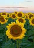Sunflower field during a morning sunrise. Many sunflowers in a field basking in the morning sun. The mountains can be seen in the background stock photography
