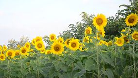 Sunflower field in morning time. At Saraburi Thailand stock footage
