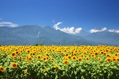 Sunflower field and mountain Stock Photo