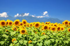 Sunflower field and mountain Stock Image