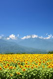 Sunflower field and mountain Stock Images
