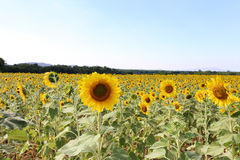 Sunflower field with mountain and light blue sky in rural area of Thailand stock photo