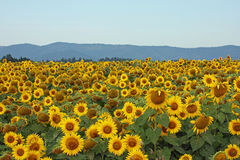 Sunflower Field in a Mountain Valley Royalty Free Stock Images