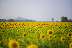 Sunflower field with mountain Royalty Free Stock Photos
