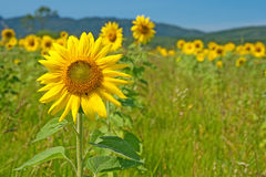 Sunflower field with mountains on the horizon Royalty Free Stock Photos