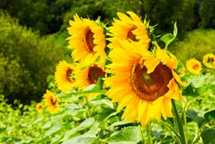 Sunflower field in the mountains. Lovely agricultural background. fine sunny weather Stock Image