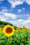 Sunflower field in the mountains. Lovely agricultural background. fine sunny weather with some clouds on a blue sky Stock Images