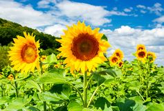 Sunflower field in the mountains. Lovely agricultural background. fine sunny weather with some clouds on a blue sky Stock Image